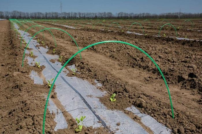 Перший урожай дині та кавуна на Одещині очікують вже у кінці червня