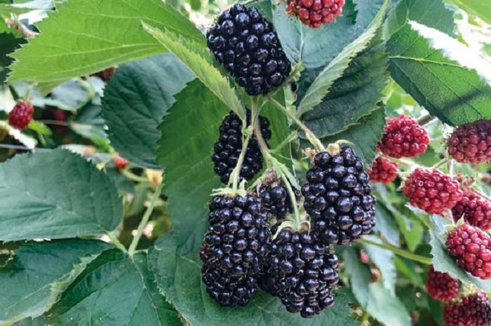 Чому вирощування ожини в Україні є перспективною справою