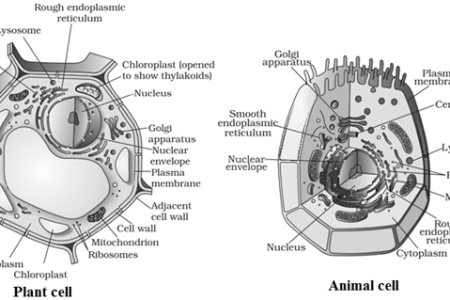 Diagram of animal cell and plant cell path decorations pictures a labeled diagram of the plant cell and functions of its organelles draw diagrams of plant cell and animal cell from biology cell the draw diagrams of plant ccuart Gallery