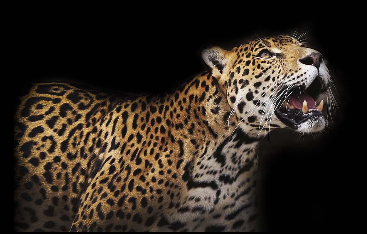 Gato Grande Jaguar Leopard Black Jaguar Animal T
