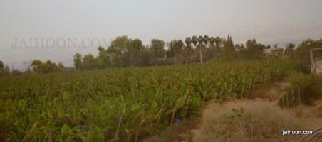 Banana plantation en route to King Hussein bridge