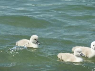 bébé canards au lac d'Annecy