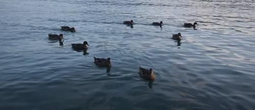 canard au lac d'Annecy