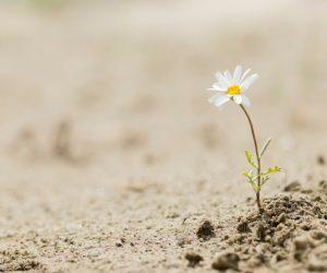 Daisy flower blooming on a sand desert