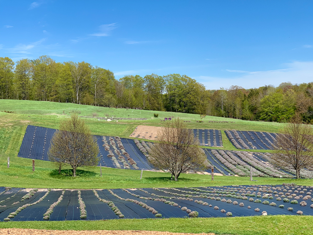 lavender farm of Lavender hill farm