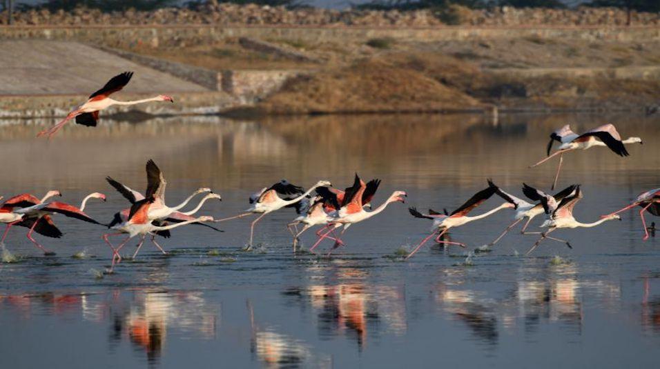 migratory birds dead sambhar lake jaipur