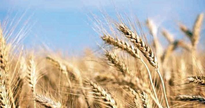 Bumper Yeild Of Wheat