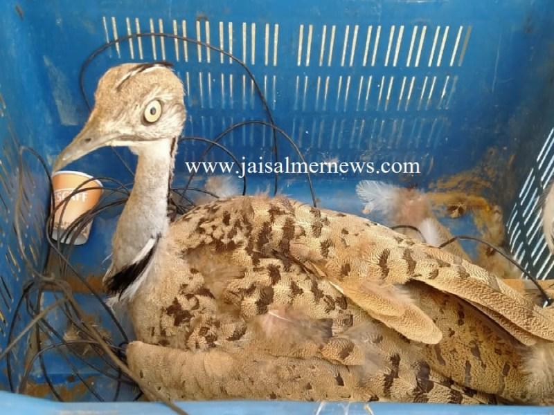bsf caught houbara bustard bird on jaisalmer border