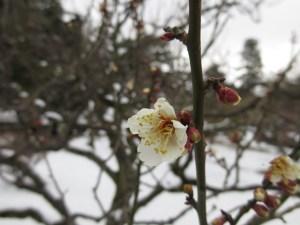 兼六園でも梅の花が咲いた