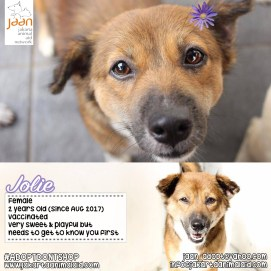 Jolie was sadly beaten up by construction workers & it took her a long time to come around & be fully healthy. Now she is very sweet & playful but needs awhile to get to know you. Once you have learnt her trust, she is a lovely dog to have!