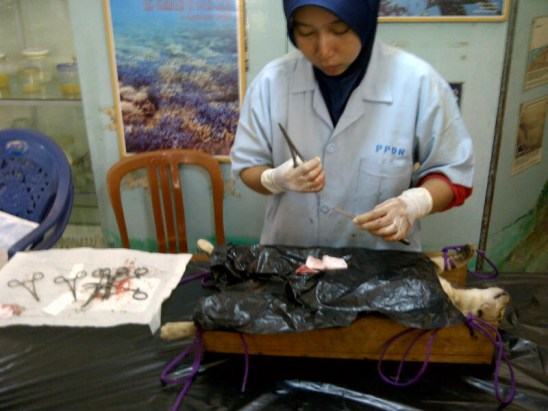 One of our veterinarians in operation.