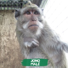 I have been friends with Ino since the first week in rehabilitation. We spend time playing, teasing & grooming each other. We are best friends, until the door gets opened for other monkeys to enter. I then feel like i am no longer Ino's bestfriend. He spends more time with the youngest & takes care of them like his babies & defends the one i am about to tease. But i love him & i don't want to leave this pack, so i am trying to fit in & accept the younger ones as part of my family too.