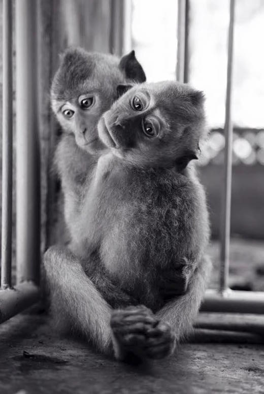 These baby Macaques have been stolen from their mums & are waiting in a market to be sold.