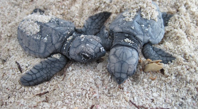 ADOPT A TURTLE NEST OR VOLUNTEER