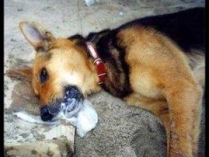 Mengatasi Anjing Keracunan Jakarta Dog Lovers