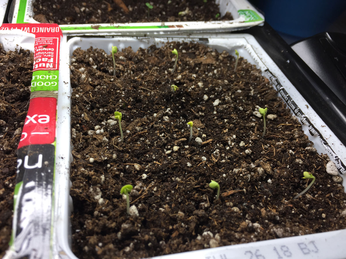 Bok choi seedlings