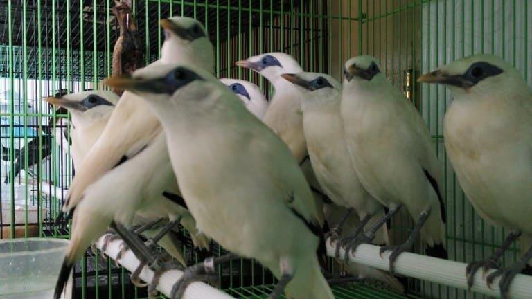 Anakan Burung Jalak Bali Bersertifikat Resmi BKSDA