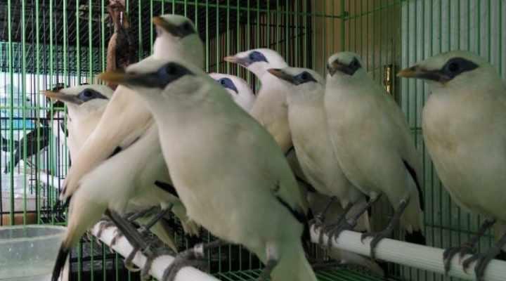 Jual Anakan Burung Jalak Bali Bersertifikat Resmi BKSDA