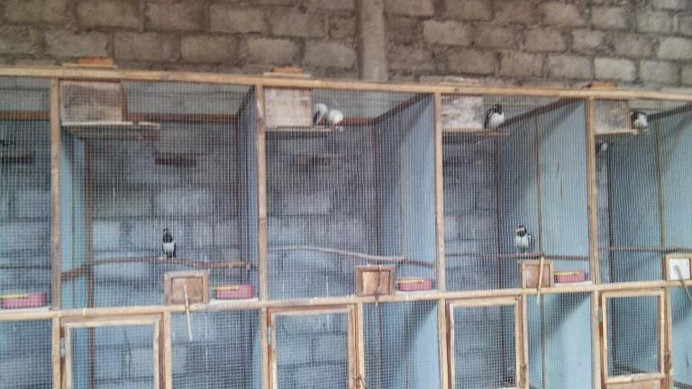 Kandang Ternak Untuk Burung Jalak Suren dan Burung Jalak Putih