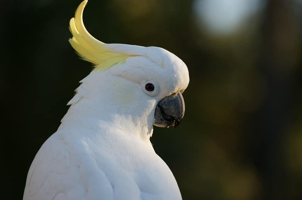 Hasil gambar untuk Kakatua Jambul Kuning