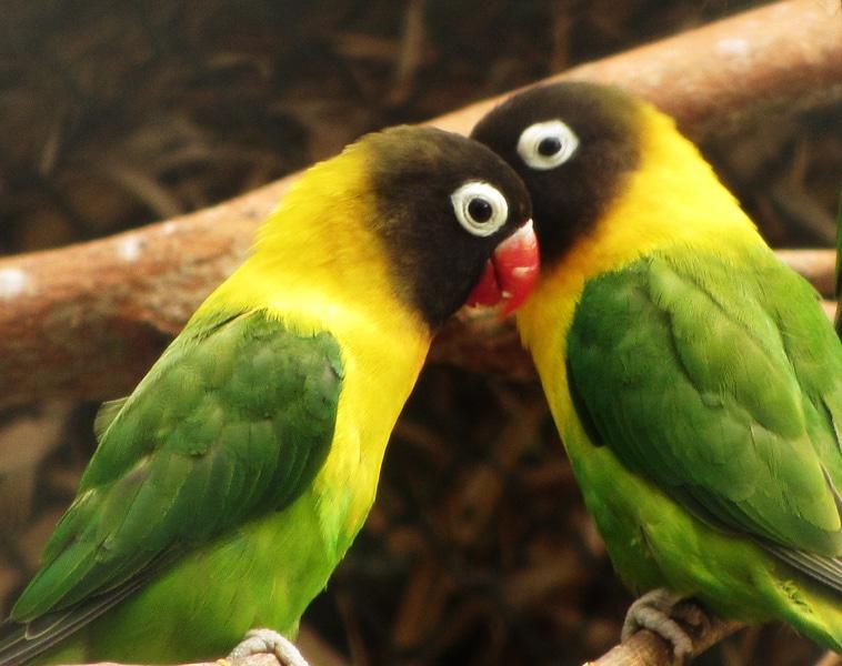 Lovebird sangat Mencintai Pasangan
