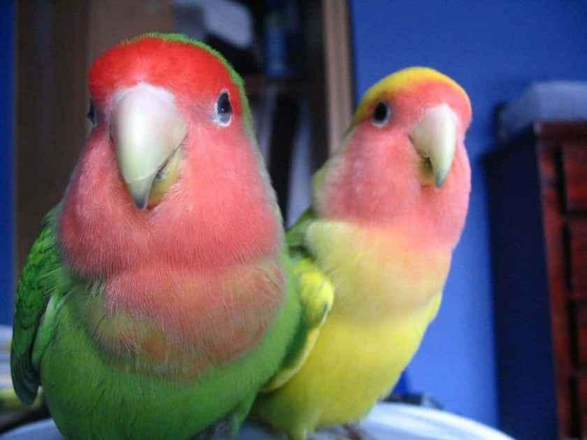 Penyakit Zoonosis Lovebird - wikimedia.org