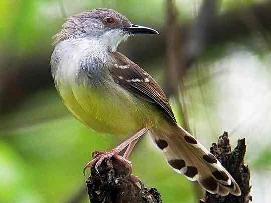 Burung Ciblek