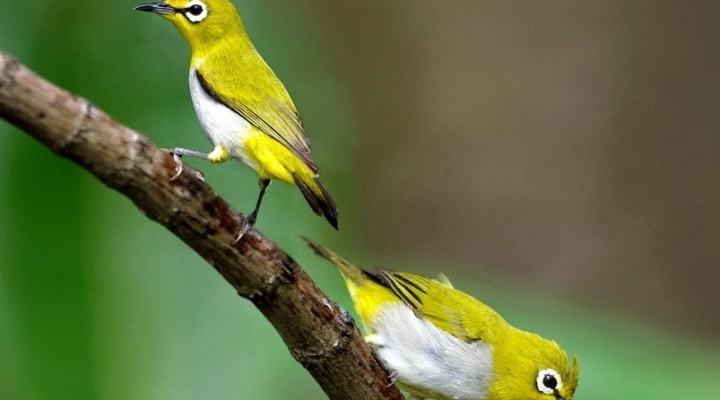 Tips Memilih Burung Pleci Jantan yang Berkualitas Juara