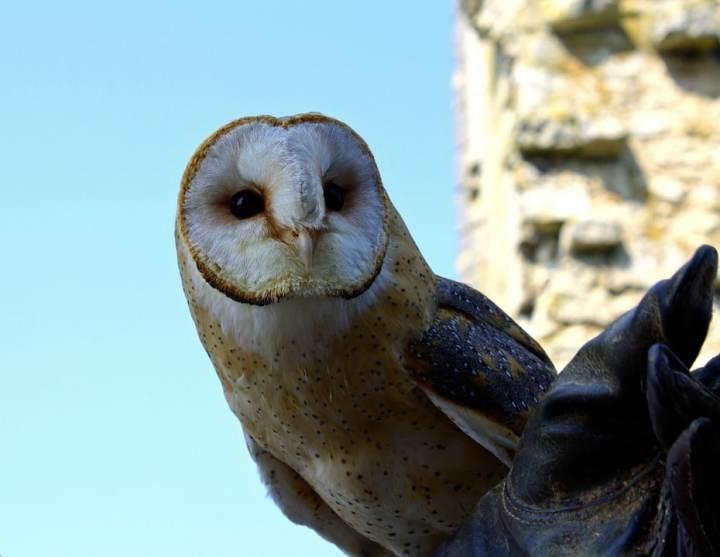 Burung hantu Tyto alba - pixabay.com
