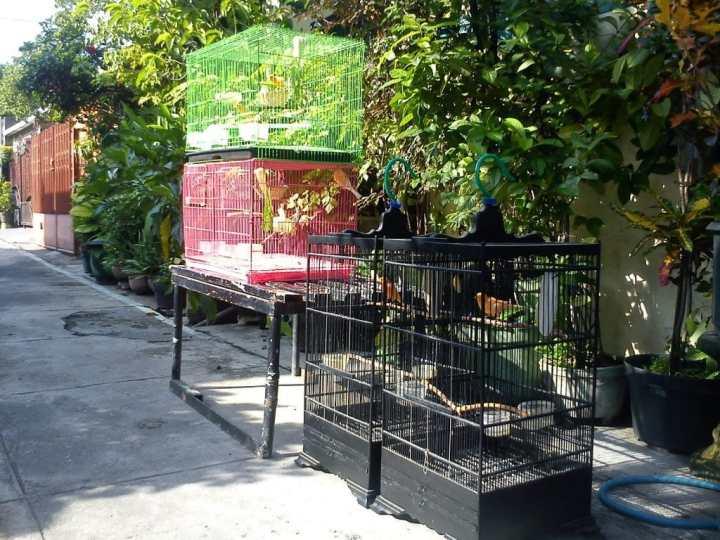 Penjemuran burung pagi - kenarimerahsurabaya.blogspot.co.id