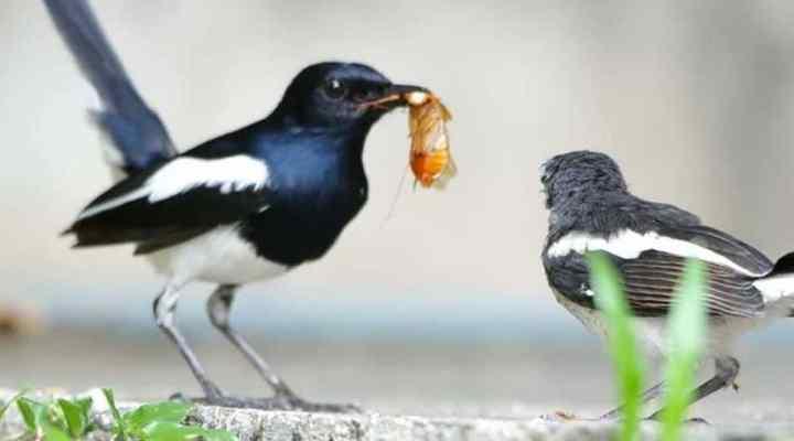 Ragam Jenis Burung Kacer Populer