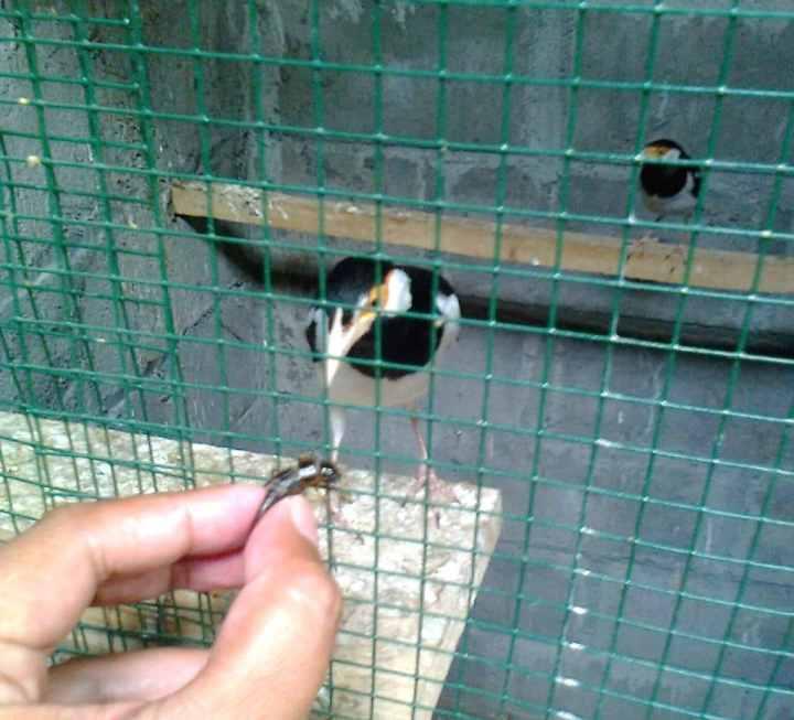 Jalak suren yaitu salah satu jenis burung yang gampang dalam segi perawatannya Cara Melatih Burung Jalak Suren Mandi di Bak Mandi