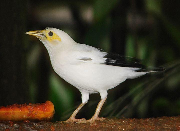 yang dalam bahasa internasional disebut  Perbedaan Ciri-ciri Burung Jalak Putih Jantan dan Betina