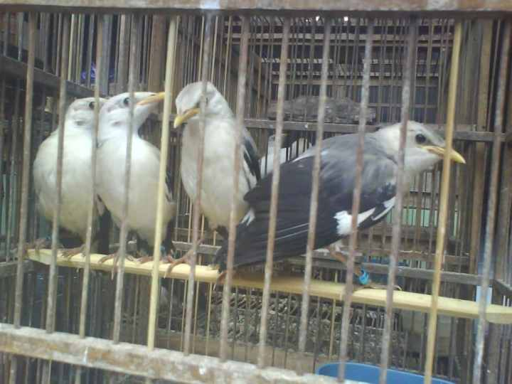 Jalak putih merupakan salah satu jenis burung yang cukup aktif Kandang yang Sehat dan Nyaman untuk Jalak Putih
