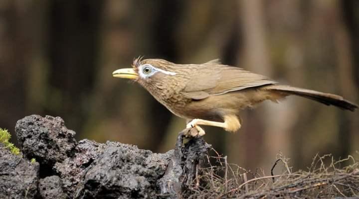 Cara Membedakan Burung Wambi Jantan dan Betina