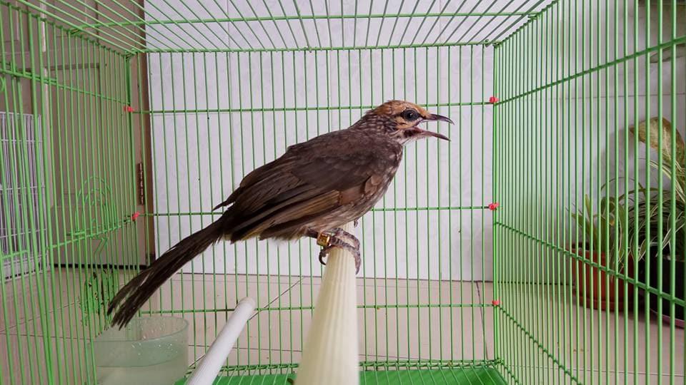 Anakan Burung Cucak Rowo