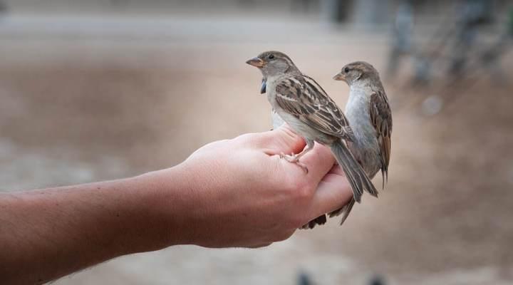 Berkenalan Lebih Dekat dengan Burung Gereja