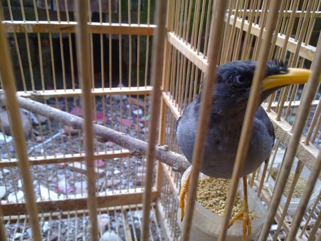 Cara Membedakan Kelamin Dan Merawat Burung Jalak Kebo