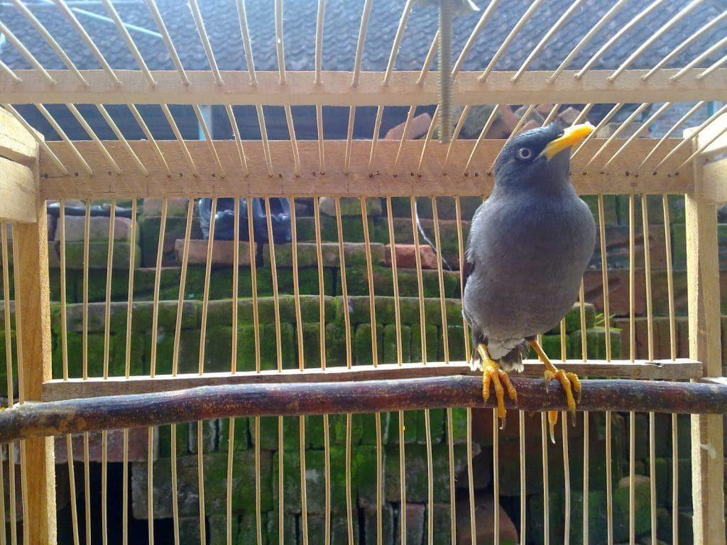 Membedakan Jenis Burung Jalak Kerbau Betina dan Jantan