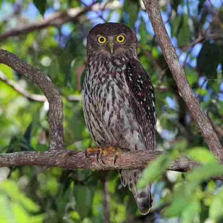 Beluk Watu Jawa (Asian Barred Owl)