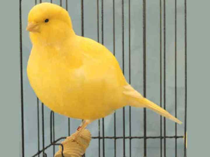 Burung Kenari Fife Fancy