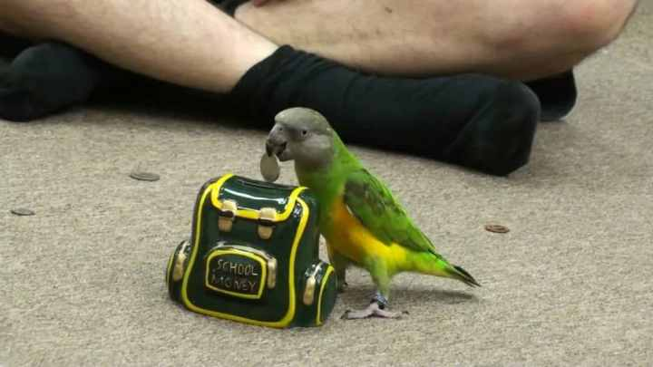 Satu jenis dari burung ini sangat terkenal di dunia Mengenal Senegal Parrot, Burung Paling Populer di Dunia