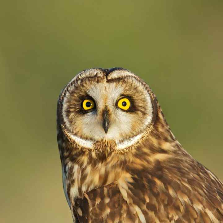 Celepuk Rajah (Rajah's Scops Owl)