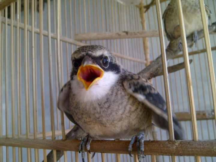 Jangkrik menunjukkan protein yang tinggi sehingga cendet sering berkicau Dampak Buruk Pemberian Jangkrik Berlebih pada Burung Cendet