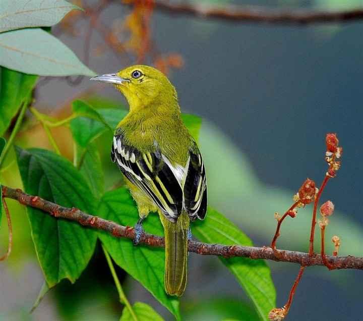 Burung cipoh mempunyai kicauan yang indah Tips Memelihara Burung Cipoh