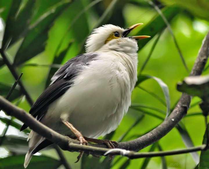 Tidak ibarat insan yang jumlahnya semakin bertambah Menengok Luntur Sumatera, Burung Endemik Tanah Percha