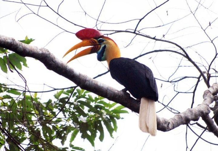 Burung Rangkong Julang