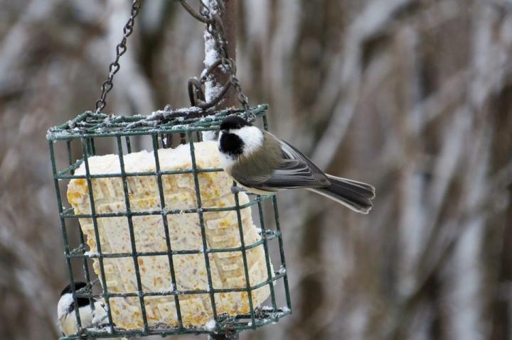 Kandang koloni ialah solusi terbaik untuk pencinta burung atau peternak yang tidak memili Mengatasi Burung Stres di Kandang Koloni dengan Cepat