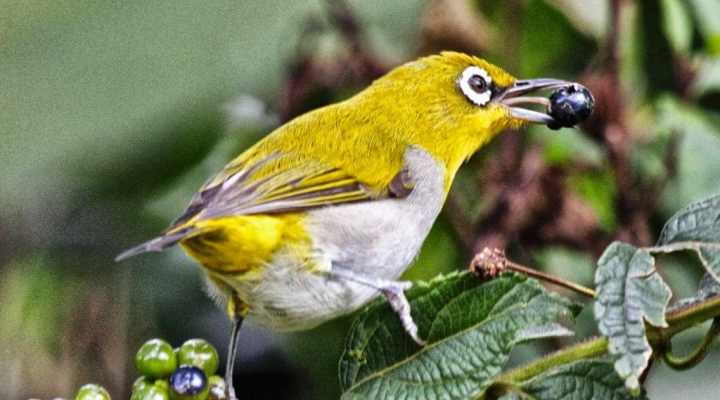 Inilah Cara Merawat Burung Pleci Agar Cepat Gacor