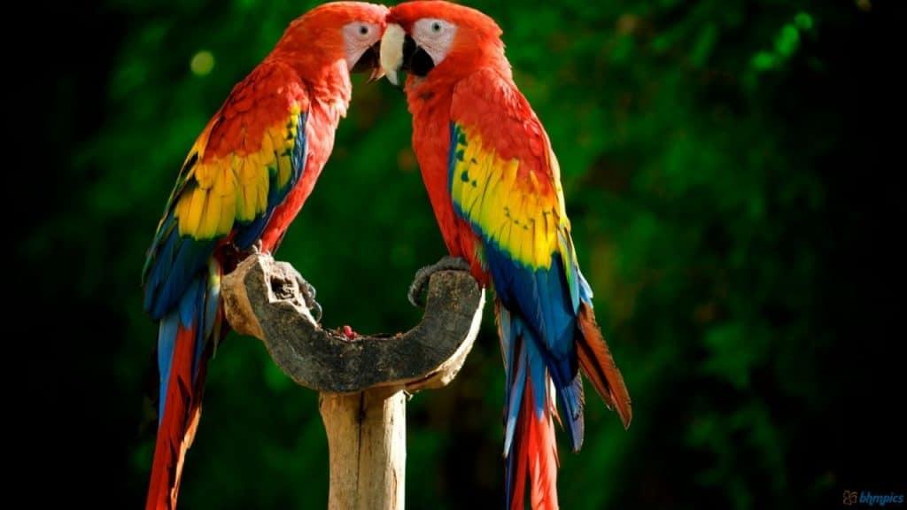 Senegal Parrot Macaw